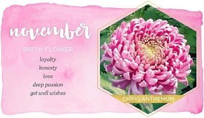 November born month flower, chrysanthemum