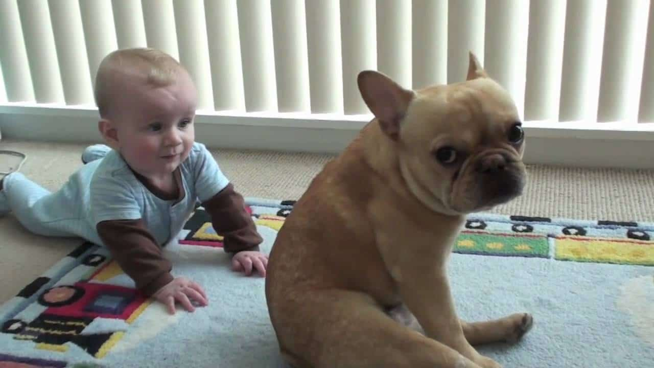 Can french bulldogs live with the children