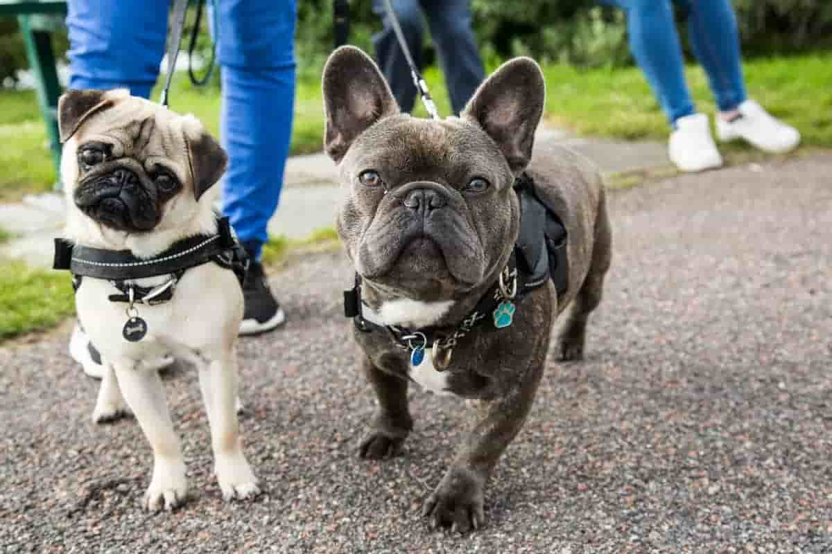 10 questions about the French Bulldog