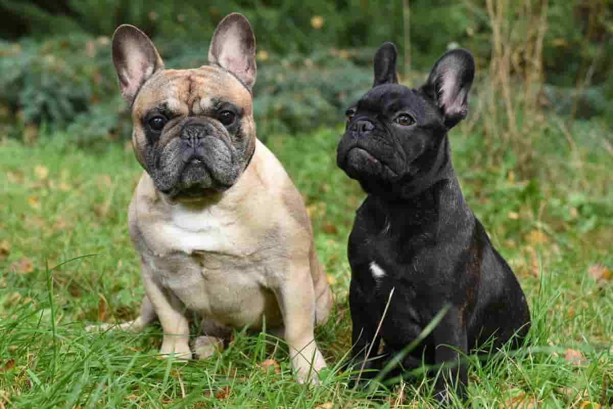 The lovely French Bulldogs