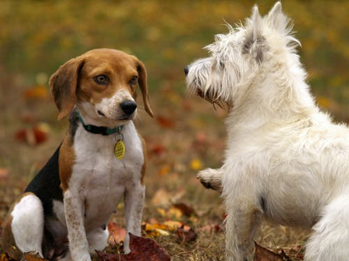 Male vs Female French Bulldog