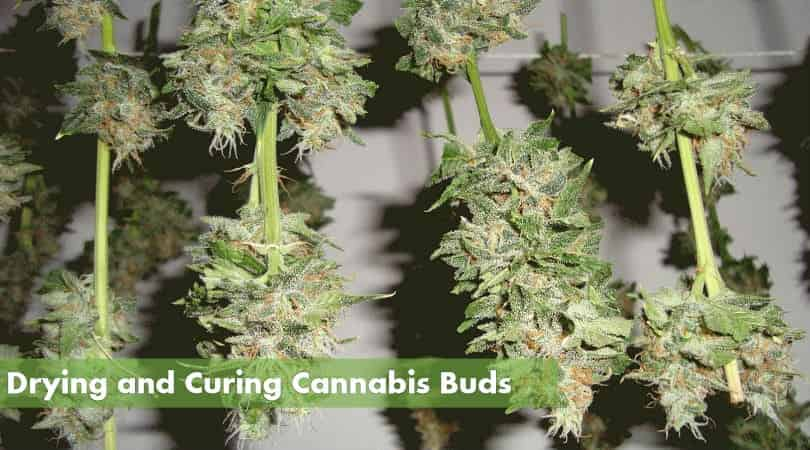 Cure Your Cannabis Buds