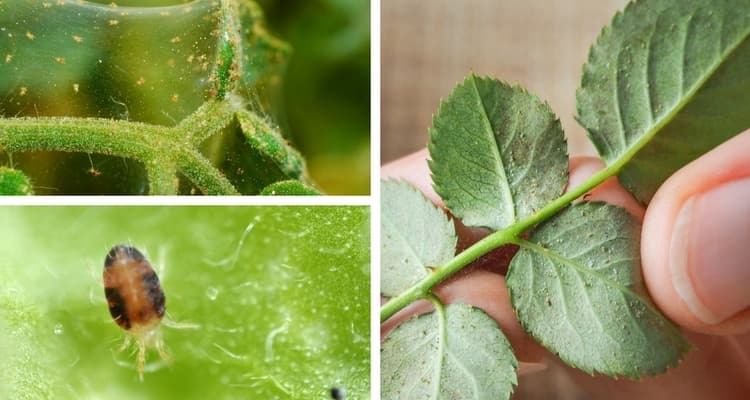 Techniques for controlling spider mites on your houseplants