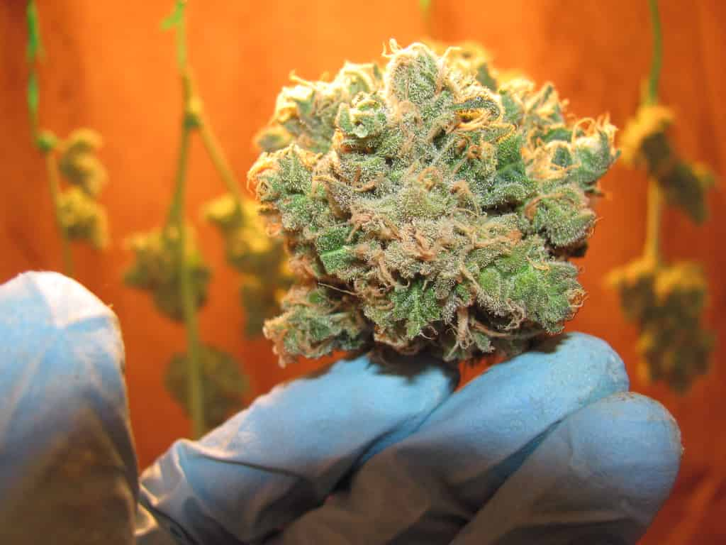 cure your cannabis buds properly